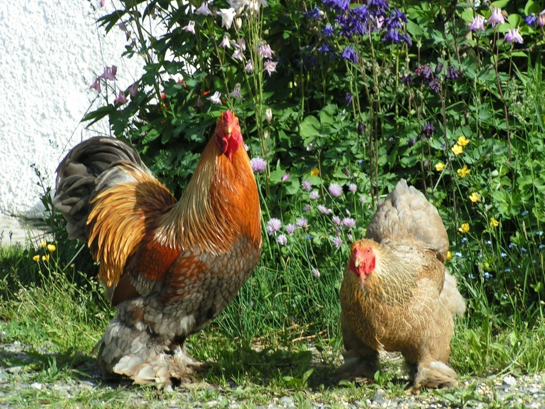 10 Excellent Scientific Facts of Breeding Bantam Chickens You Need To Know